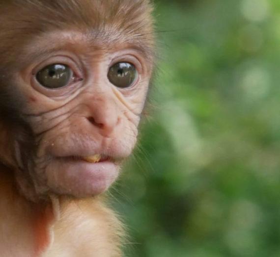 Der Affe mit den schönen Augen